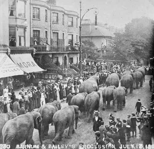 A procession of Barnum & Bailey circus elephants walking along Western Road, Brighton, 1899.  Courtesy of James Gray collection / The Regency Society